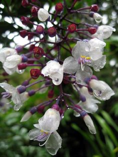 Paper thin flower - Botanical Garden - The Big Island of Hawaii