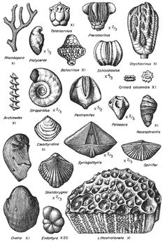brachiopod fossils - Google Search