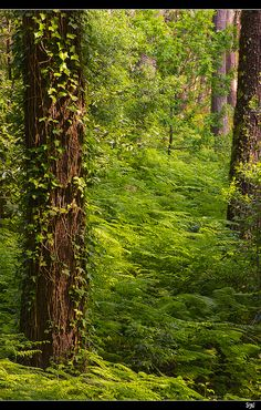 Fern Covered Forest Floor