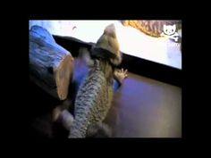 Dancing lizard puts on the moves!