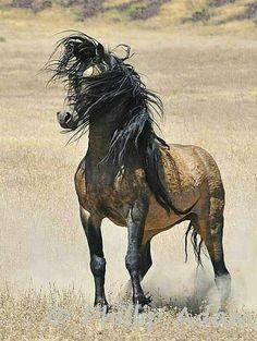 Beautiful stocky buckskin Mustang stallion