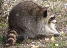 Get rid of raccoons with Epsom salts I will try this to save my chickens!