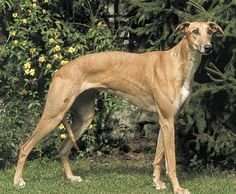 """Mudhol hound by Anand Immannavar  """