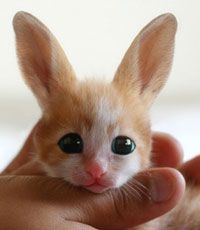 Fennec hare...so cute...and so NOT real. AWWW.