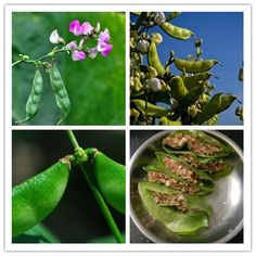 20pcs/bag bean seeds vegetable seeds Phaseolus vulgaris plant, green beans seeds,Natural growth,plant for home garden 2017 #Affiliate