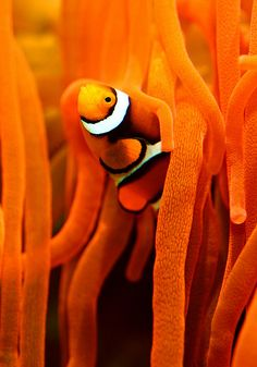 Orange clown fish and sea anemone Clown Fish, Fauna Marina, Orange Aesthetic, Orange Is The New Black, Sea World, Happy Colors, Tropical Fish, Marine Life, Sea Creatures