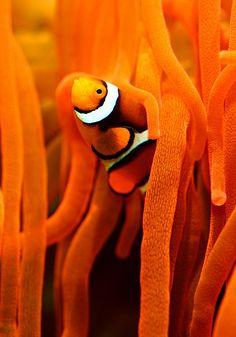 Orange clown fish and sea anemone Clown Fish, Fauna Marina, Orange Aesthetic, Orange Is The New Black, Sea World, Happy Colors, Tropical Fish, Marine Life, Sea Creatures
