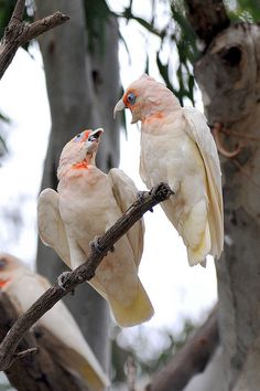 Pair of Long Billed Corellas Cockatoos Little Birds, Love Birds, Beautiful Birds, Australian Parrots, Budgie Parakeet, Tropical Birds, Wild Nature, Cockatoo, Bird Watching