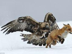 Steinadler und Rotfuchs
