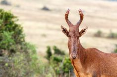 Wet Red Hartebeest in the rain Wet Red Hartebeest in the rain - The red hartebeest is one of the plains game species which can be trophy hunted on a hunting safari in South Africa