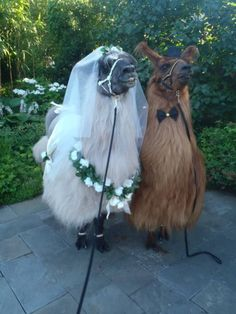 gayaceinspace:  averyiscoldpizza:  fairytalephantasy:  cuddlingwithsatan:  ottermatopoeia:  what a beautiful wedding  said a bridesmaid to a waiter  yes but what a shame  the poor grooms bride is a llama  What? A llama?! HE'S SUPPOSED TO BE DEAD!!
