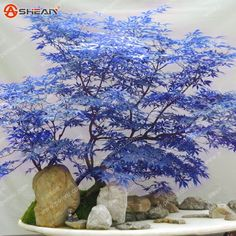 Rare Blue Maple Seeds Maple Seeds Bonsai Tree Plants Potted Garden Japanese Maple Seeds 10 Pieces / lot