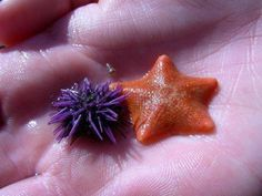 tiny sea blorps.  Echinoderms are just so cool!