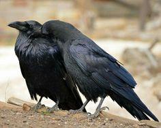 Blue raven couple