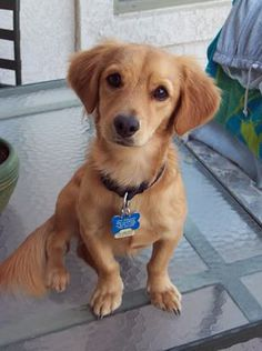 17 Dachshund Mixes That Are Almost Too Cute To Be Real