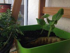 Las calabacitas estan creciendo muy rapido! Asi van hasta el momento