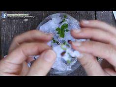 En este video de nuestra Huerta Familiar mostramos como germinar las semillas del limón son algunos consejitos en base a nuestra experiencia!! 7 RAZONES DE P...
