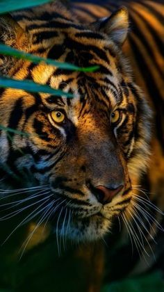 Most current Photographs Bengal Cats cross Concepts First, when it concerns exactly what is in reality a Bengal cat. Bengal cats and kittens certainly are a pedig. Animals And Pets, Baby Animals, Cute Animals, Wild Animals, Beautiful Cats, Animals Beautiful, Big Cats, Cute Cats, Cat Art
