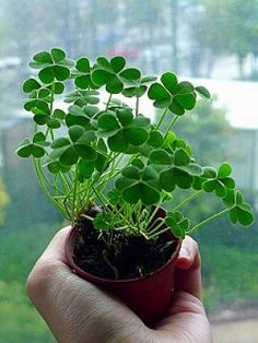 Simple beauty.  Shamrock plant.  At night they close up to sleep.zzzzzz