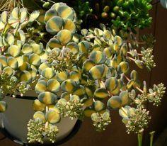 Sedum Sieboldi Variegata-Very nice plant. Have never seen it in bloom until now.