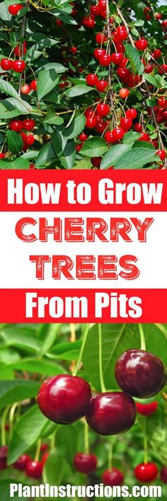 Organic Gardening Ideas Learn how to grow a cherry tree from seeds! Perfect for USDA zones a cherry tree will keep on giving and giving! - Learn how to grow a cherry tree from seeds! Perfect for USDA zones a cherry tree will keep on giving and giving! Fruit Garden, Garden Trees, Edible Garden, Garden Plants, Flowers Garden, House Plants, Backyard Plants, Fruit Plants, Diy Garden