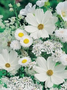Beautiful for an all white Moon Garden.....Cosmos, Allyssum, Queen Anne's Lace, Daisy, Scabiosa