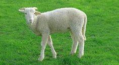 zdobywaj nowe doswiadczenia na Podhalu! http://puszystaowca.pl/wypas-owiec/