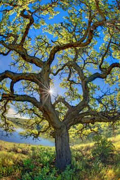 California Oak.  Love the way it looks with the sun shining through.