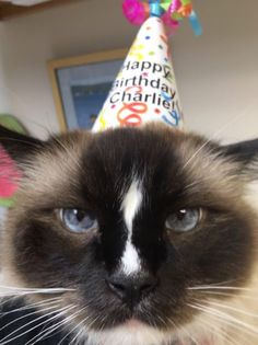 Happy 9th Birthday To My Charlie A Seal Mitted Ragdoll Cat With An Hourglass Blaze