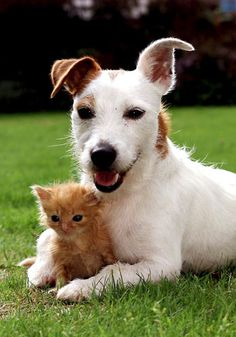 Unlikely animal friendships - dog and kitten. Who says cats and dogs can't be friends? Not Pippa the Jack Russell, who adopted a litter of abandoned kittens. Unusual Animal Friendships, Unlikely Animal Friends, Unusual Animals, Animals Beautiful, Animals And Pets, Baby Animals, Funny Animals, Cute Animals, Kittens And Puppies