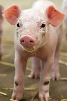 Pigs are friends, not food.