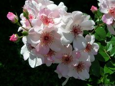 'Astronomia ' Rose Photo