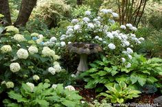 My favorite plant combination -- hydrangea and hostas - side bed ...