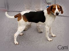 CAMI is an adult female Treeing Walker Coonhound available at the Pocahontas County Animal Shelter, in Marlinton, WV.    She's in need of rescue or adoption!    More PHOTOS here:  https://www.facebook.com/media/set/?set=a.349493475160485.1073741829.257761584333675=1    For rescue or adoption info, email: asapwva@gmail.com