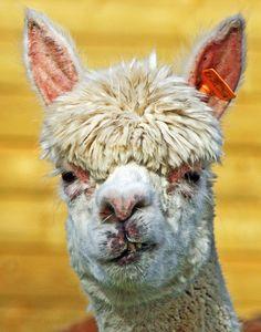 Alpacas with Post Punk Hair