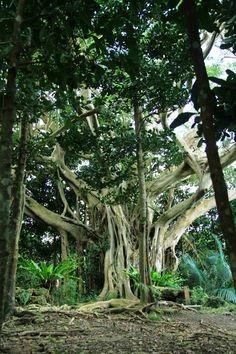 <沖縄の伝説ぶらり歩き> 尚巴志生誕伝説 ~ 南城市 - 沖縄CLIP Giant Tree, Big Tree, Tree Arborist, Beautiful Places In Japan, Unique Trees, Best Resorts, Okinawa Japan, Abandoned Places, Osaka