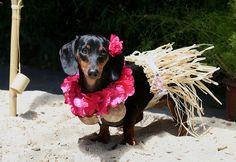 Hawaiian girl doxie