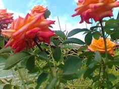 Rosas / jahsaude