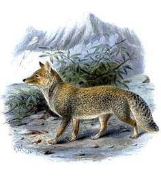 Category:Illustrations of foxes - Wikimedia Commons