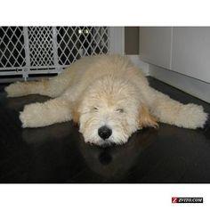 Adult Goldendoodle | Found on drypet.com
