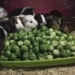 Hampshire farm sparks outrage with viral video of guinea pigs eating Brussels sprouts 🙁  #guineapig