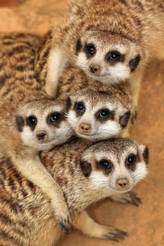 madisonmclover:      Meerkats: part of the mongoose family and are found in parts of South Africa