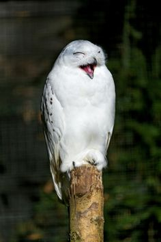 Laughing snowy owl by Tambako the Jaguar