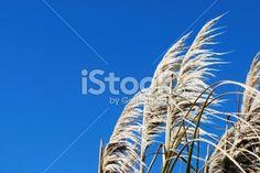 'Toitoi' or 'Toetoe' Grass Royalty Free Stock Photo Image Now, New Zealand, Grass, Royalty Free Stock Photos, Sky, Photography, Blue, Beautiful, Heaven