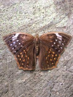 Common Duffer, Discophora sondaica (Lepidoptera: Nymphalidae), female