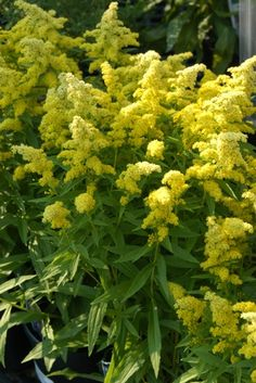Solidago 'Little Lemon' (Goldenrod); triangle bed on south west corner by Millenium Patio Plants, Garden Plants, Cut Flowers, Yellow Flowers, North Creek, Achillea, Cut Flower Garden, Landscape Plans, Lemon Yellow