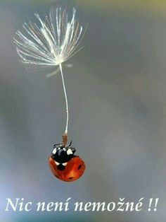 "I'm Flyin' Free!"" A Ladybug on a Floating Dandelion Seed ""Whoopie! I'm Flyin' Free!"" A Ladybug on a Floating Dandelion Seed Beautiful Bugs, Amazing Nature, Beautiful World, Beautiful Places, Beautiful Creatures, Animals Beautiful, Cute Animals, Funny Animals, Photo Animaliere"