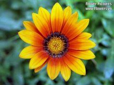other gazania daisy