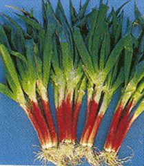 """Red Beard. Allium fistulosum. Bunching onion. This popular, specialty bunching onion is easy to grow and an excellent choice for fresh market growers and home gardeners. It has a red stalk, a mild flavor, and tender leaves. At maturity, plants can reach 27"""" tall with the red stalk about 12"""" long."""