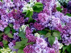 love lilacs